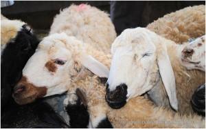 lamb bah baah