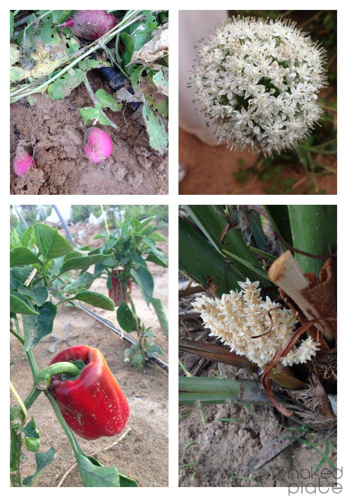 AlKitby UAE Organic Farm_visit