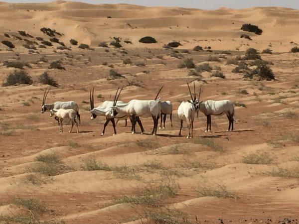 Dubai Desert Conservation Reserve Oryx flock