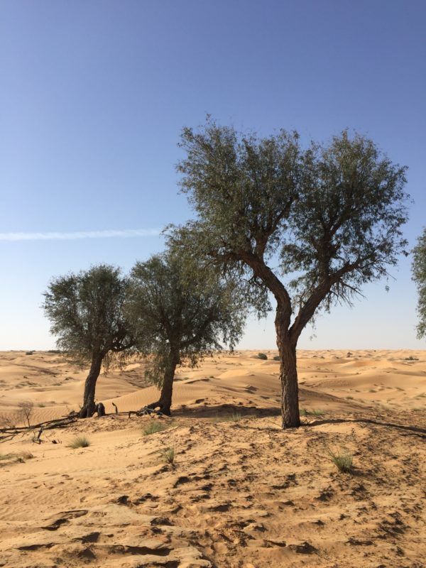 GHaf Trees on Dubai Desert