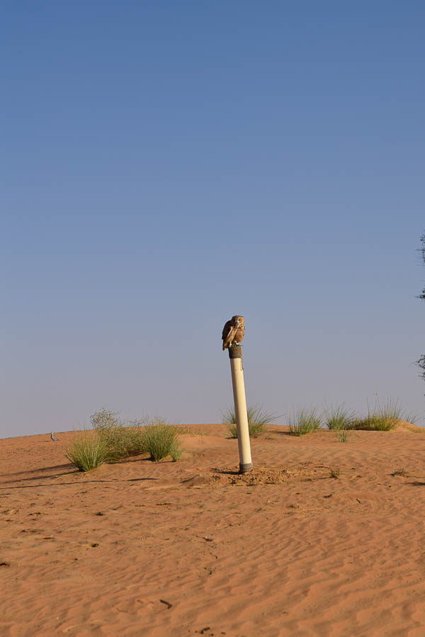 Unseen Trails Dubai - Desert Eagle Owl