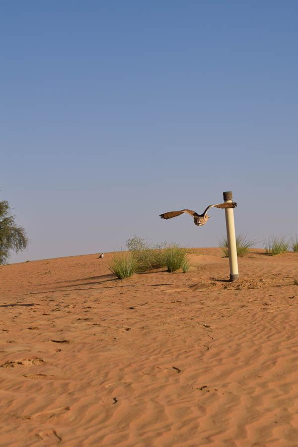 Unseen Trails Dubai Desert Eagle Owl